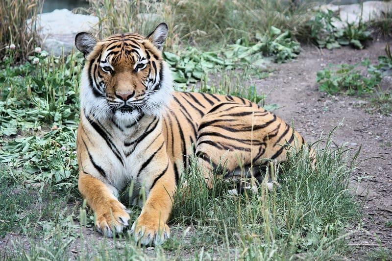 Siberian Tiger Weigh